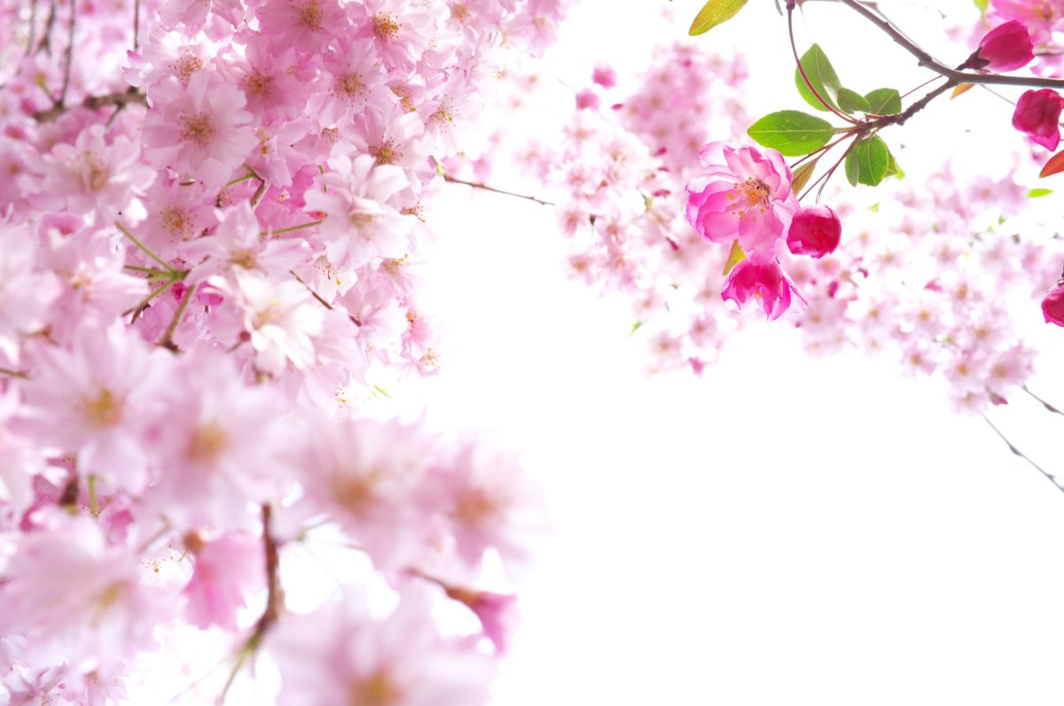 Beautiful Sakura Wallpaper HD | Paravu.com | HD Wallpaper and …