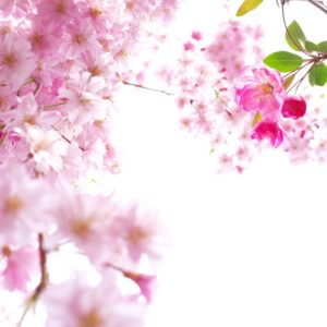 download Beautiful Sakura Wallpaper HD | Paravu.com | HD Wallpaper and …