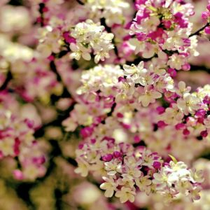 download Sakura flower background Japanese images download