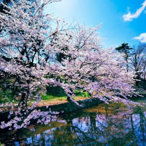 download Cherry Blossom Trees Wallpapers | HD Wallpapers