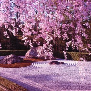 download Wallpapers For > Cherry Blossom Tree Anime Wallpaper