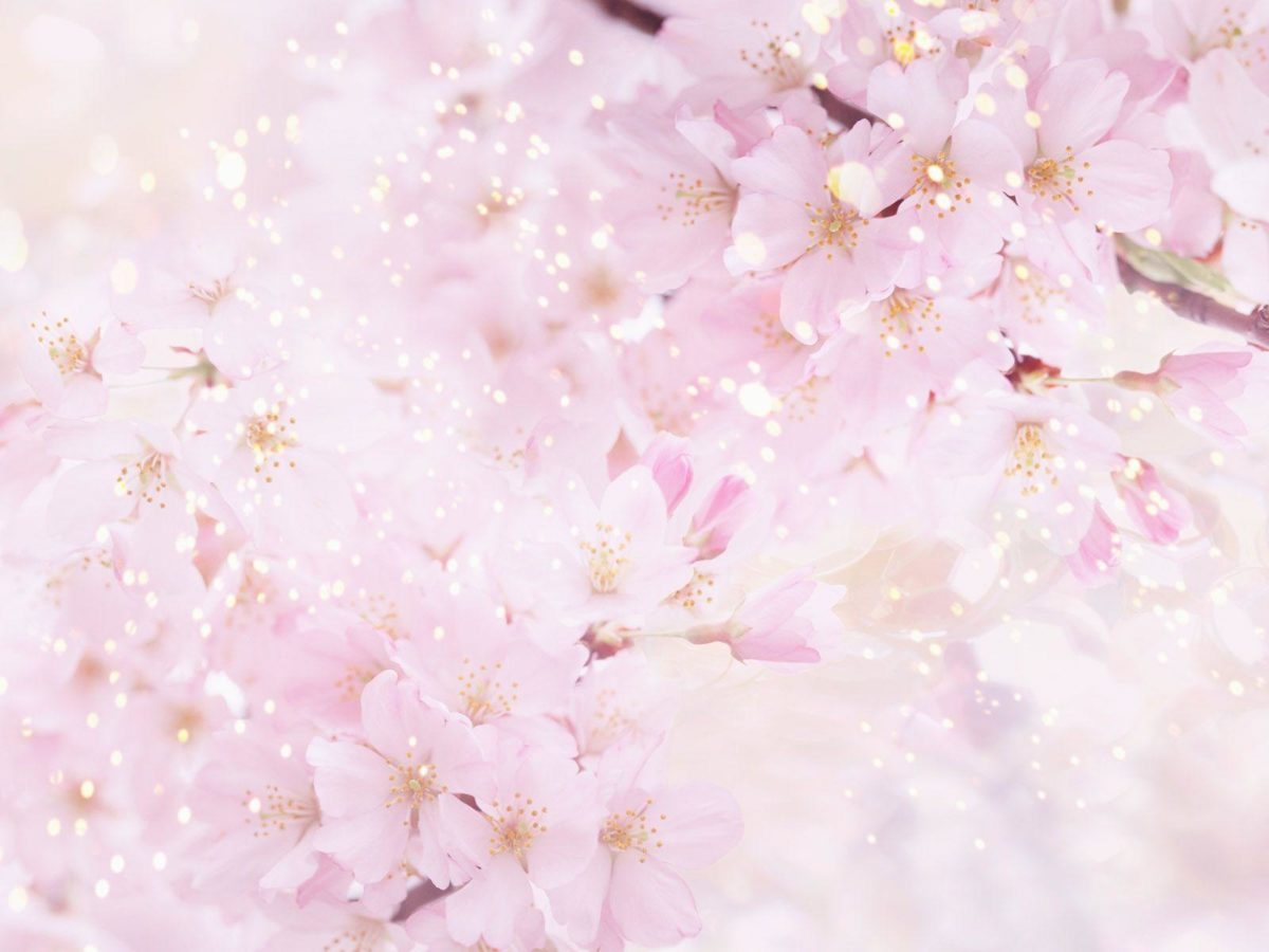 Anime Cherry Blossom Wallpaper Images & Pictures – Becuo
