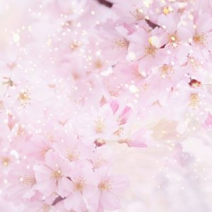 download Anime Cherry Blossom Wallpaper Images & Pictures – Becuo