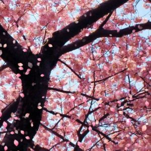 download Sakura flower wallpaper images all free download