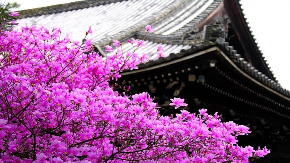 Sakura flower wallpaper hd with blossom tree