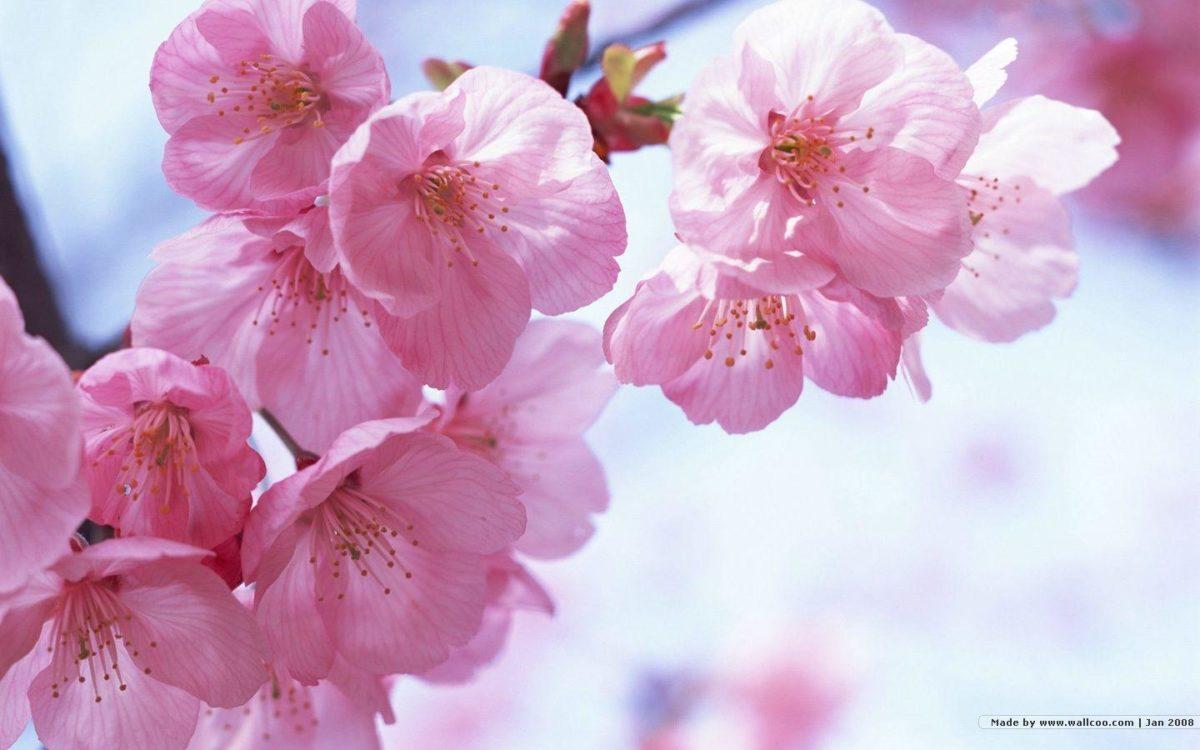 1440*900 Japanese Sakura wallpapers – Japanese Cherry Blossom …