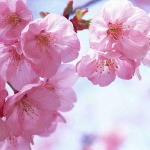 download 1440*900 Japanese Sakura wallpapers – Japanese Cherry Blossom …