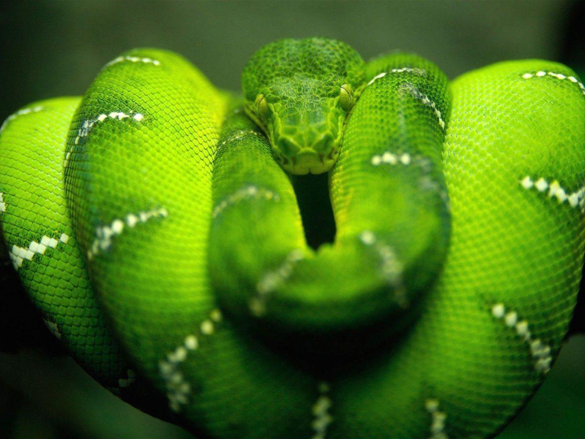Snake Desktop Wallpapers | Snake Wallpapers Free download | Cool …