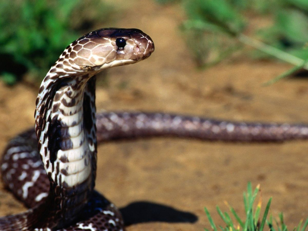 Cobra snake wallpapers | King Cobra Pictures Full Size | Cool …