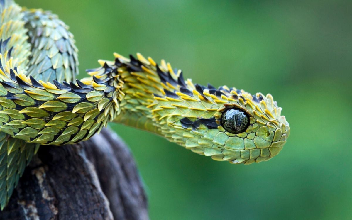 Bush viper snake Wallpapers | Pictures