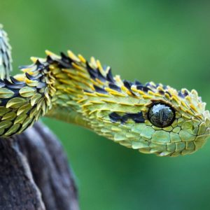 download Bush viper snake Wallpapers | Pictures
