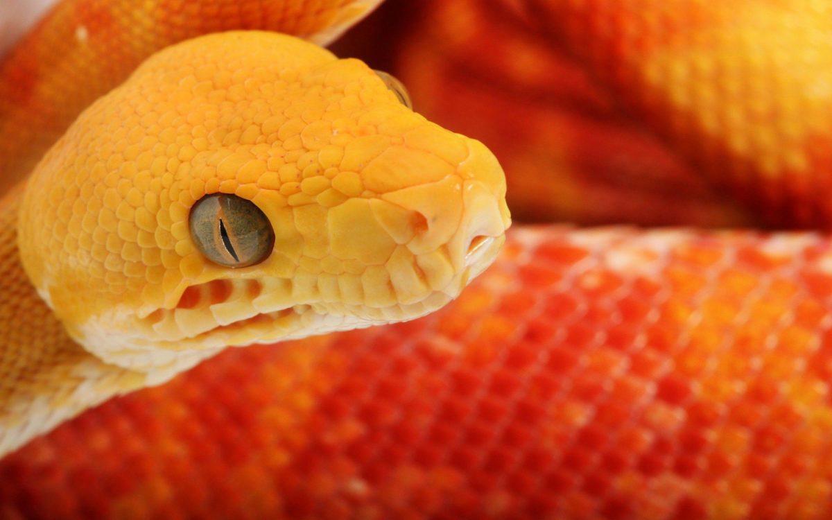 Dangerous Snake Wallpaper 11 | hdwallpapers-