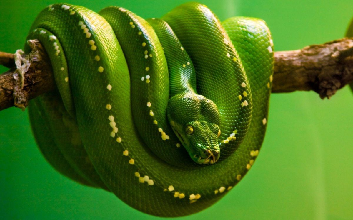 Python Wallpapers – Full HD wallpaper search