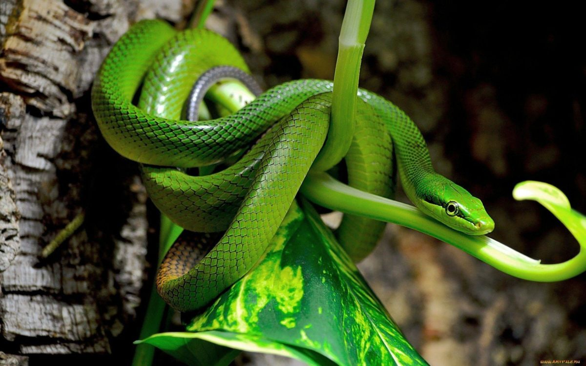 Wallpapers For > Hd Snake Wallpapers 1080p