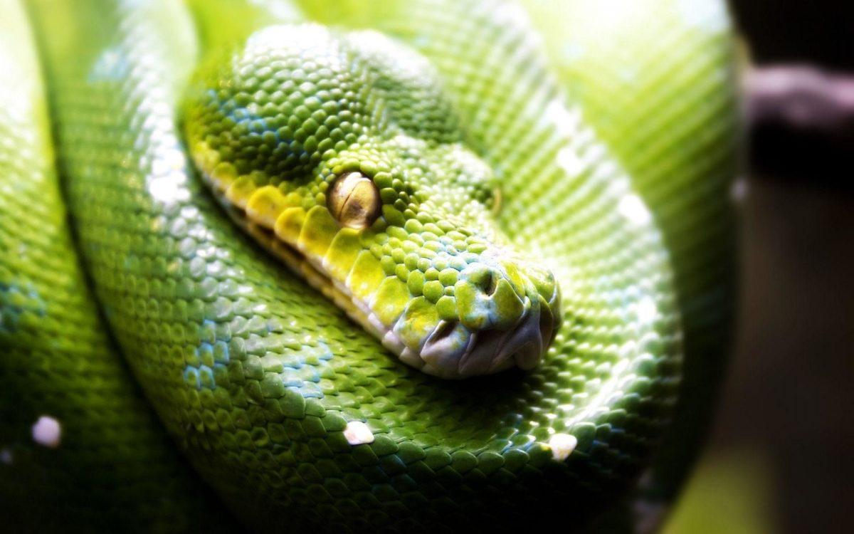 Green snake wallpaper – 1126176