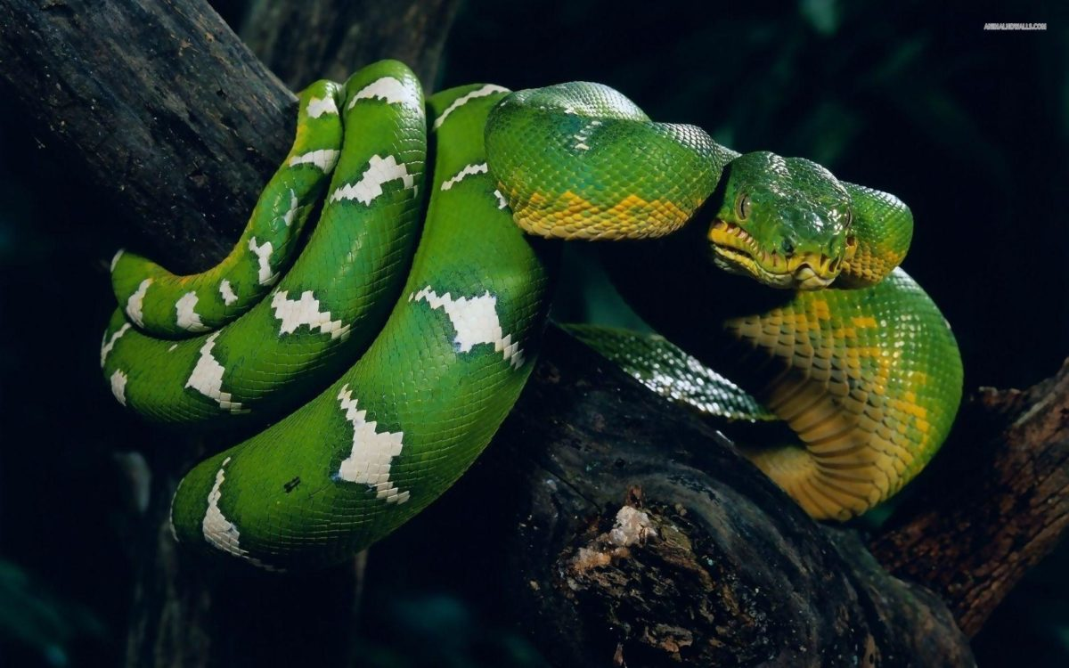 Snake Wallpapers: Different Family Type Of Sna (2029) – HD Desktop …