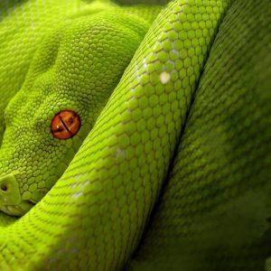 download Snake red eyes wallpaper   Last Wallpaper