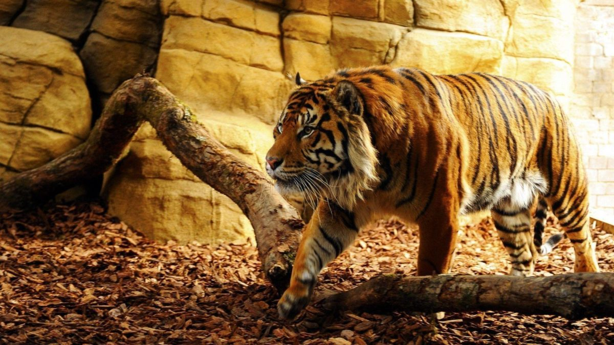 Tiger Wallpapers – HD Wallpapers Inn