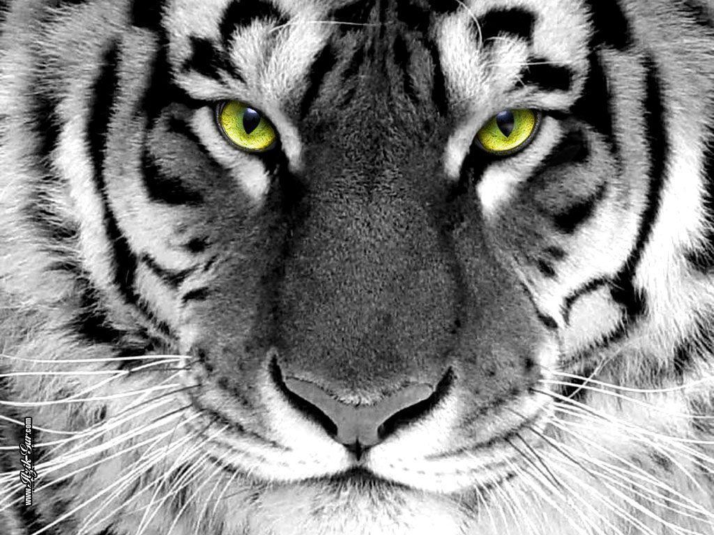 Tiger Wallpaper – Tigers Wallpaper (16120028) – Fanpop