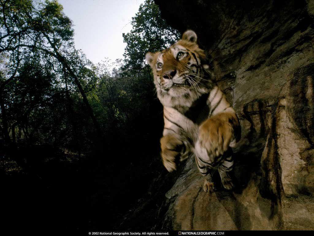 Tiger Wallpaper – Tigers Wallpaper (1598846) – Fanpop