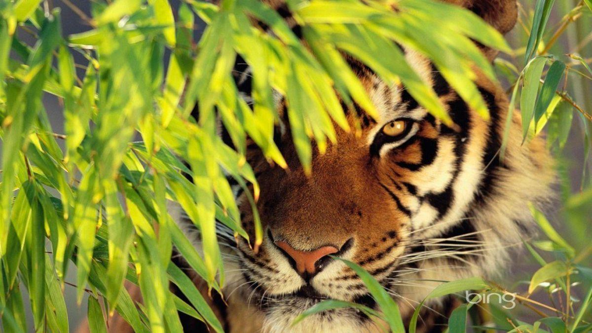 tiger wallpaper – AtPeek Search Engine