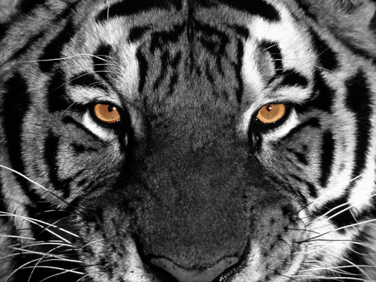 Tiger Eyes Wallpaper – Eyes Wallpaper (28331382) – Fanpop