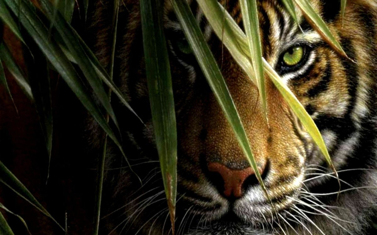 Tiger wallpaper 158354