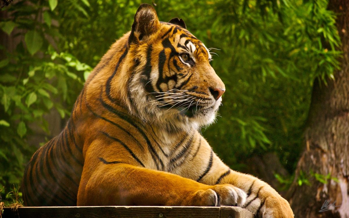 Tigers,Cheetahs,Leopards Wallpapers & HD Desktop Backgrounds – Page 1
