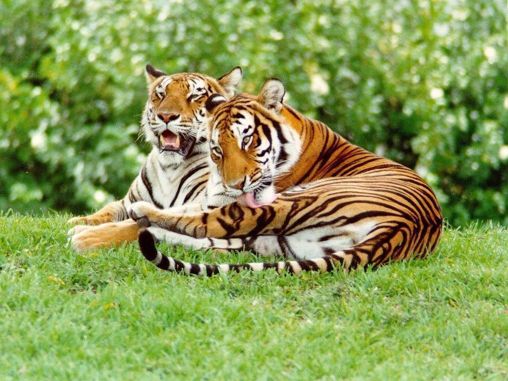 Tiger Wallpaper – Tigers Wallpaper (9981517) – Fanpop
