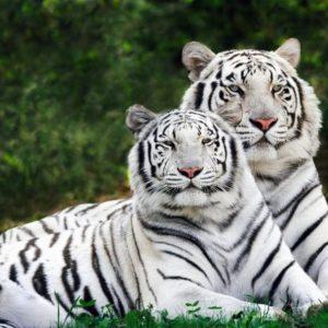 download Tiger Wallpaper – Tigers Wallpaper (9981594) – Fanpop