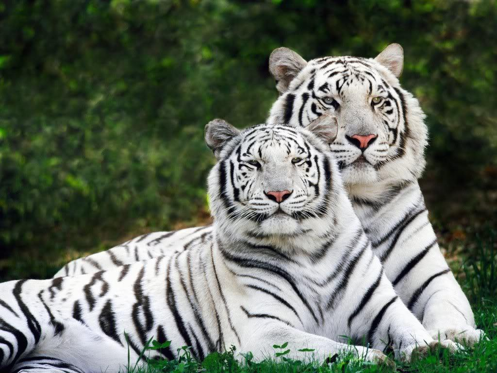 Tiger Wallpaper – Tigers Wallpaper (9981594) – Fanpop
