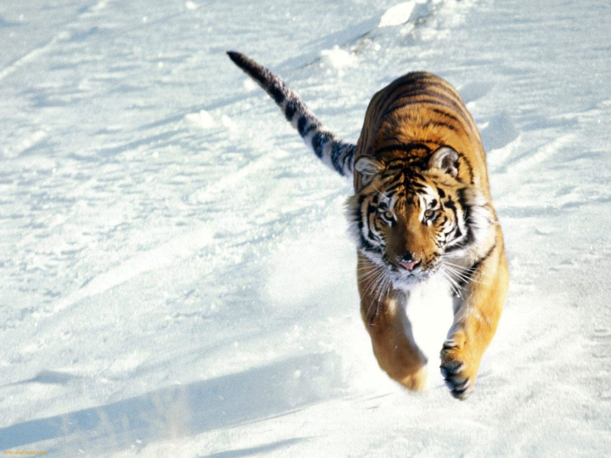 Siberian Tiger Wallpapers – HD Wallpapers Inn