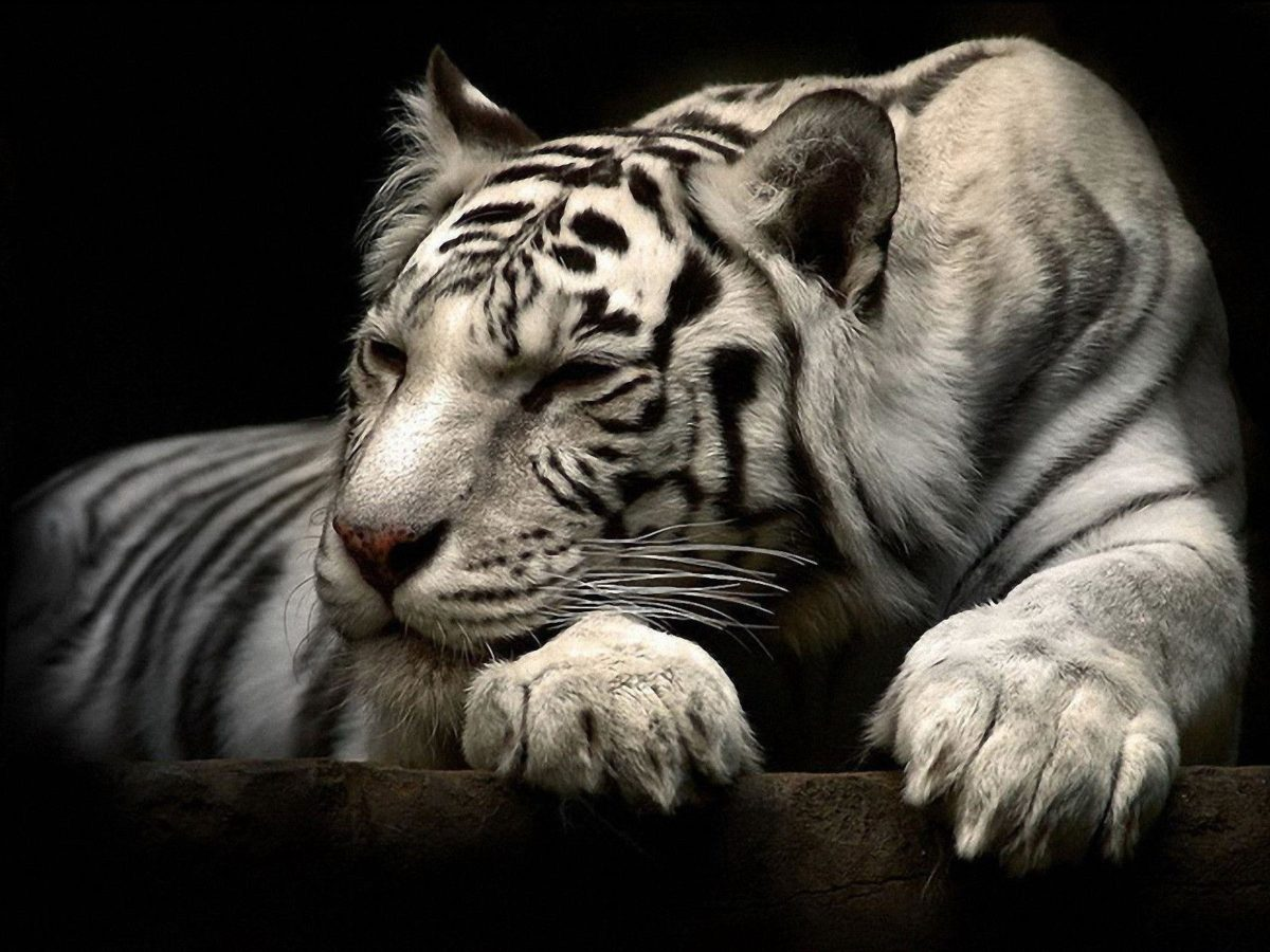 192 White Tiger Wallpapers | White Tiger Backgrounds