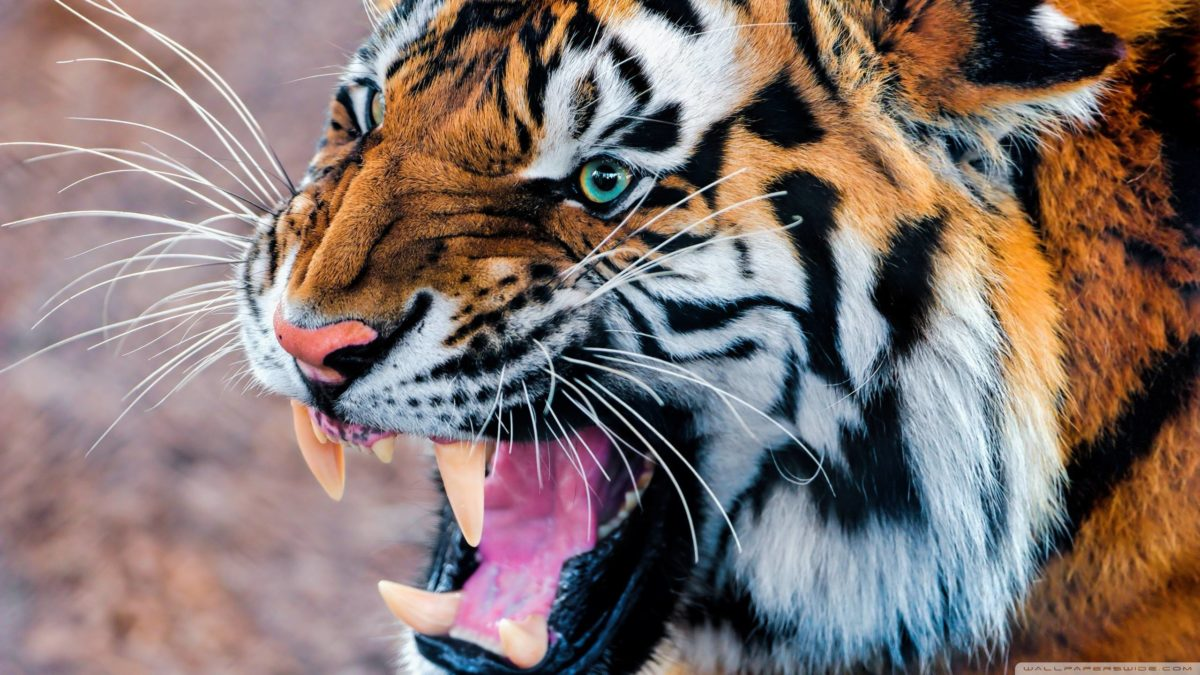 Wallpapers For > Angry Siberian Tiger Wallpaper