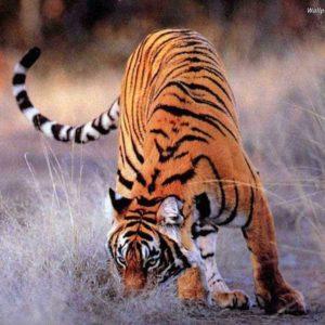 download Tiger Wallpaper 55 Background HD | wallpaperhd77.