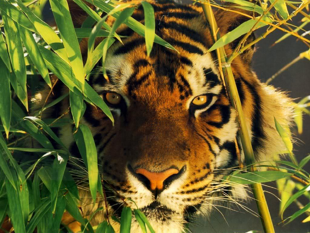 tiger wallpaper / Wallpaper Abstract 13151 high quality …