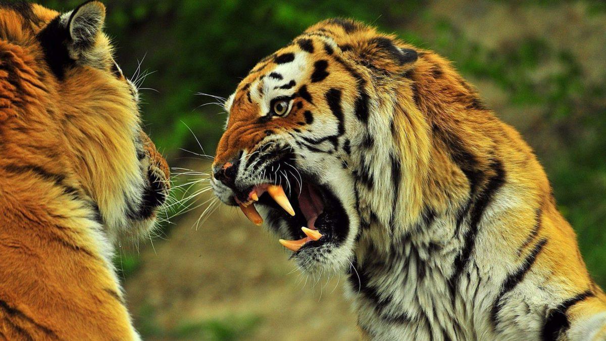 Angry Tiger wallpaper – 845572