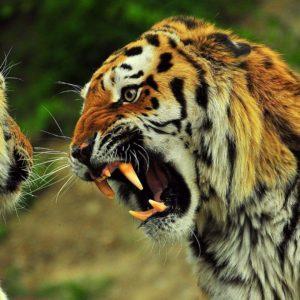 download Angry Tiger wallpaper – 845572