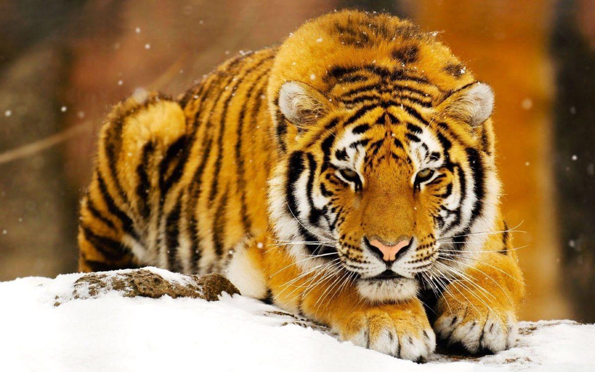 Siberian Tiger Wallpapers – Full HD wallpaper search