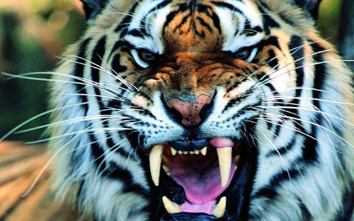 Tiger Wallpaper High Resolution #10847 Wallpaper | Cool …