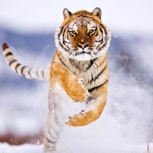 download Tiger Wallpaper | Latest Hd Wallpapers