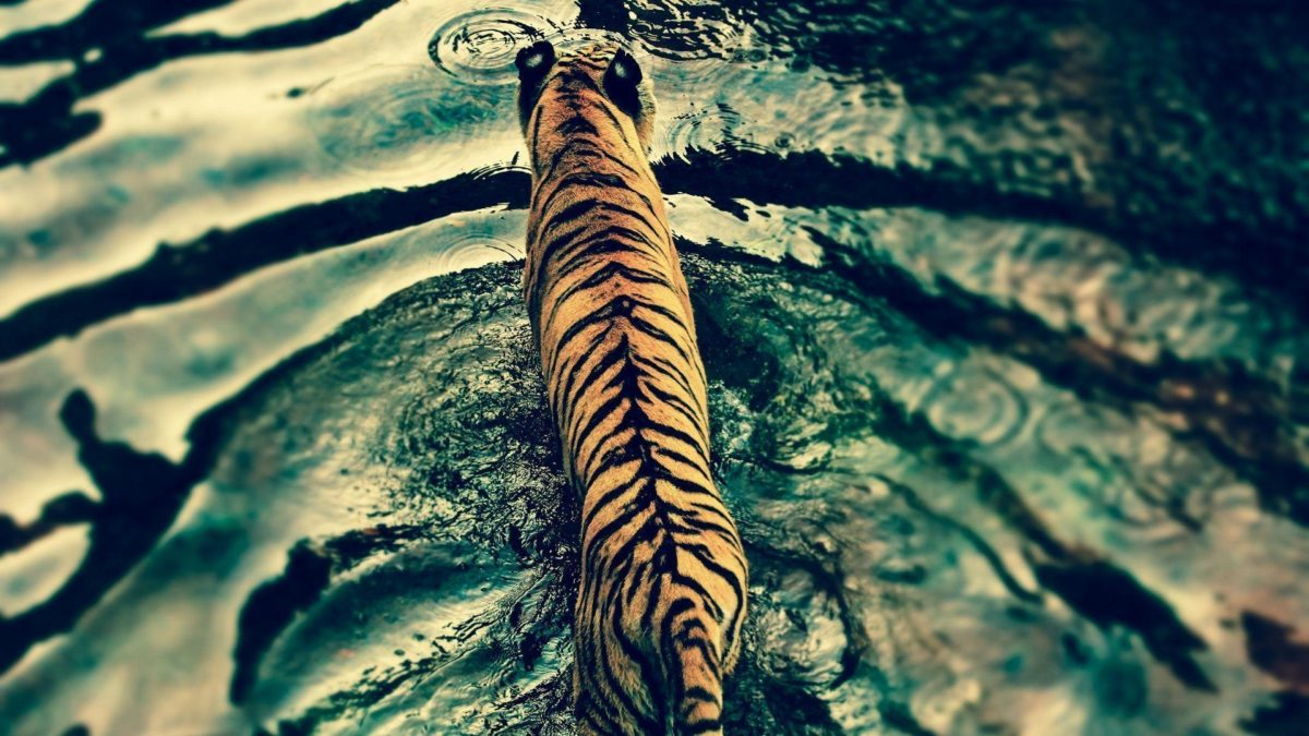 Tiger Wallpaper Windows Seven #10851 Wallpaper | Cool …