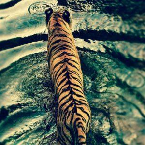 download Tiger Wallpaper Windows Seven #10851 Wallpaper   Cool …