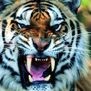 download Wallpapers For > Cool Tiger Wallpaper Light