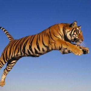 download Jumping Tiger Wallpaper HD #10860 Wallpaper   Cool Walldiskpaper.com