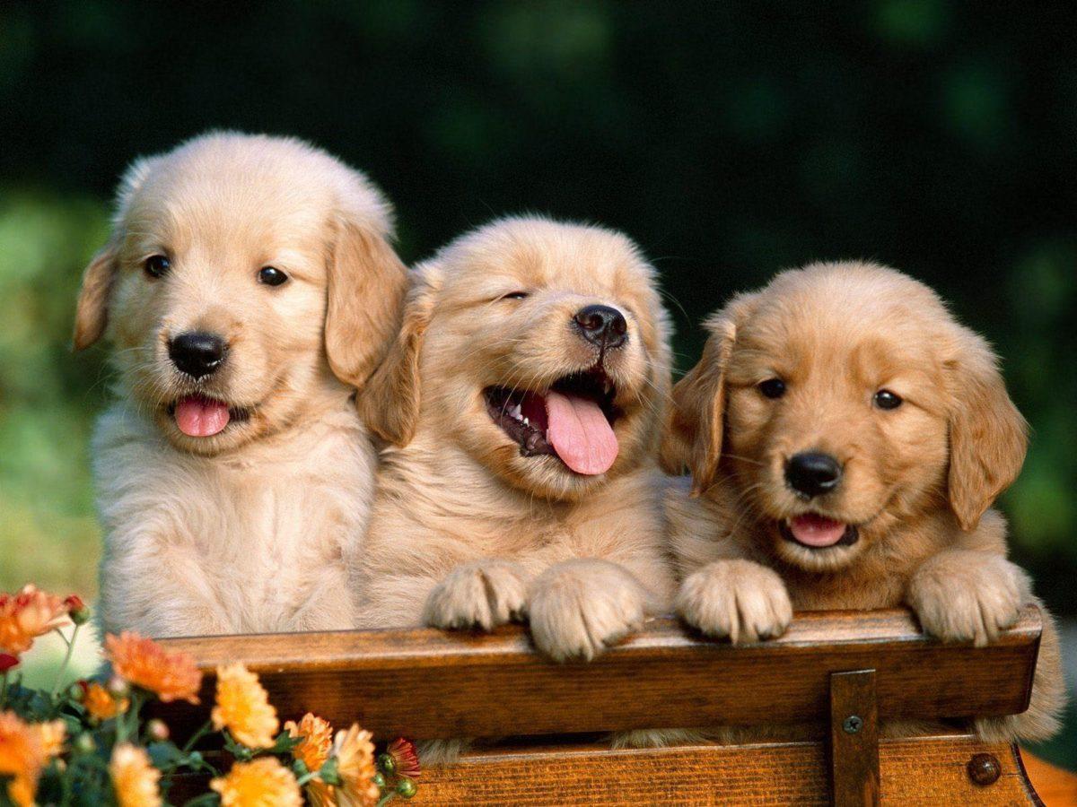 Golden Retriever Puppies wallpapers – HD Wallpapers Inn