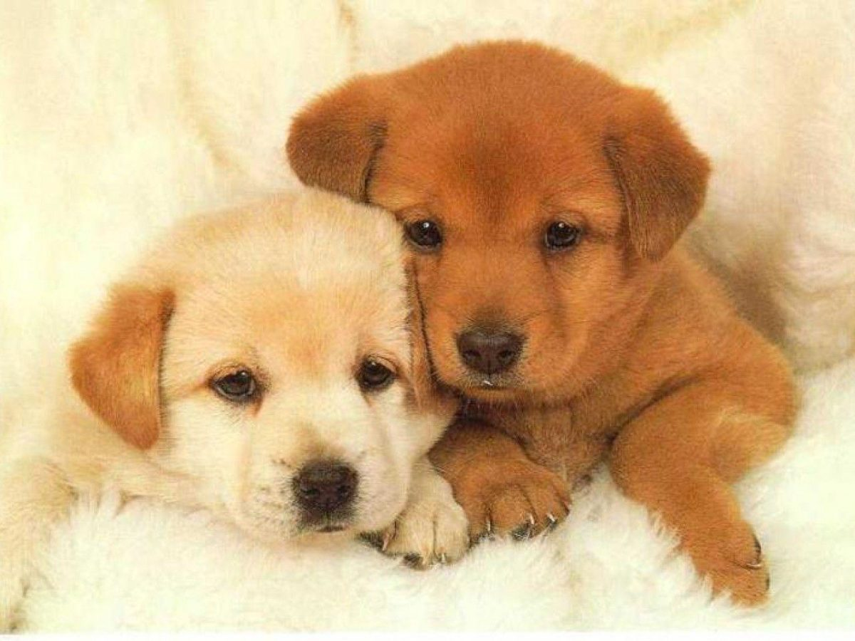 Puppies Wallpaper – Animal Backgrounds