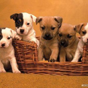 download Puppy Wallpaper – Dogs Wallpaper (7013331) – Fanpop