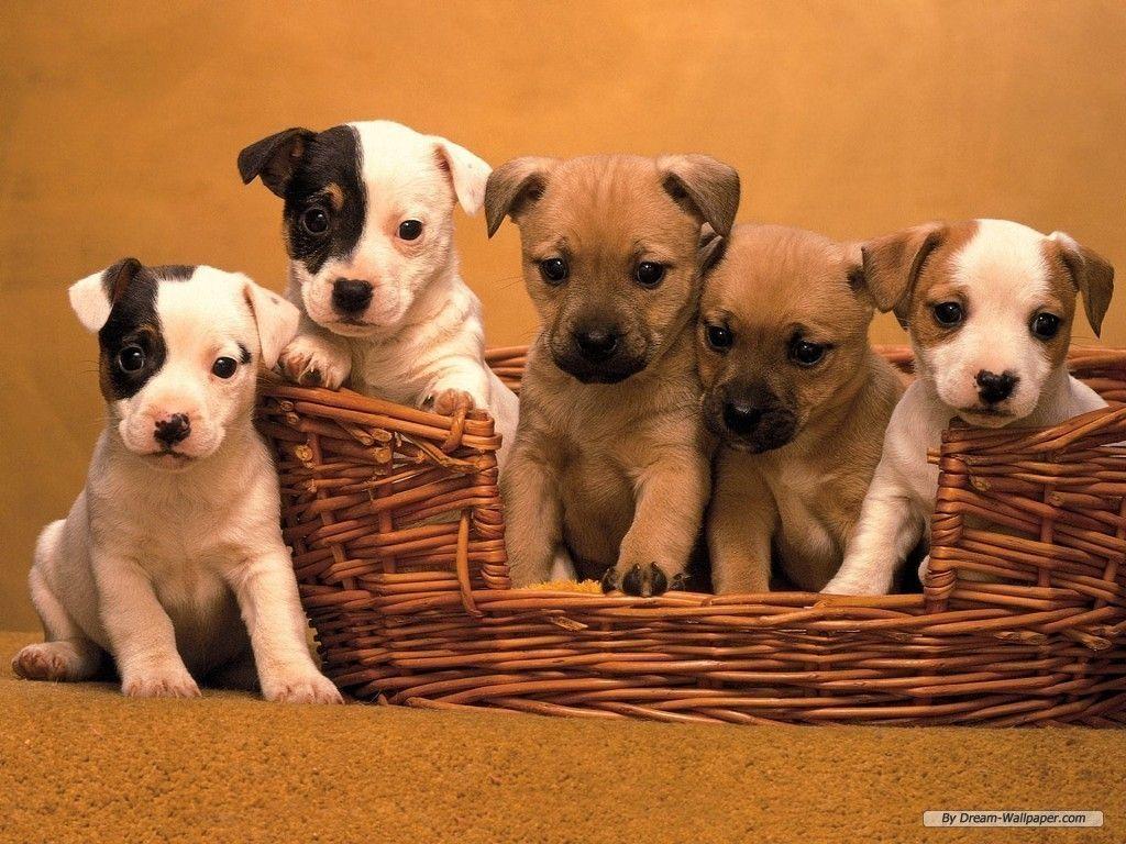 Puppy Wallpaper – Dogs Wallpaper (7013331) – Fanpop