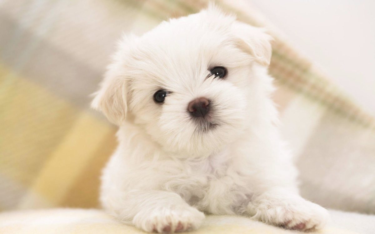 Wallpapers For > Cute Puppy Wallpaper Hd